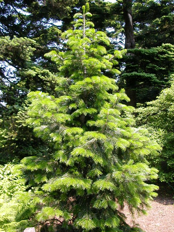 Abies Pindrow Pindrow-Tanne Samen