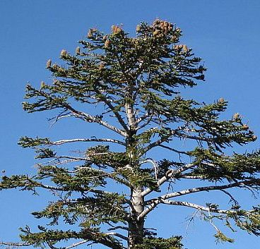 Abies magnifica Sapin rouge de Californie graines
