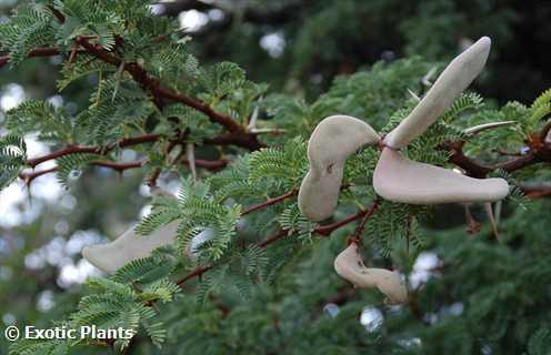 Acacia erioloba Kameldornbaum Samen