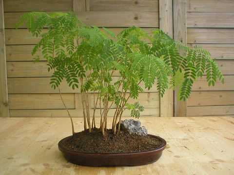 Acacia farnesiana Cassia-Blütenöl - Cassie-Strauch Samen