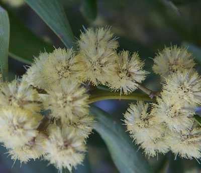 Acacia melanoxylon Schwarzholz-Akazie Samen