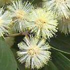 Acacia melanoxylon acacia de madera negra semillas