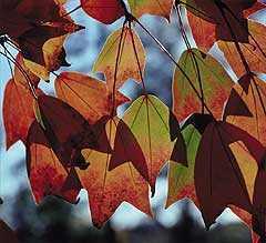 Acer buergerianum Dreispitz-Ahorn Samen