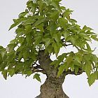 Acer buergerianum arce tridente semillas