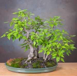 Acer ginnala Feuerahorn Samen