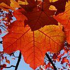 Acer ginnala Acre del Amor semillas