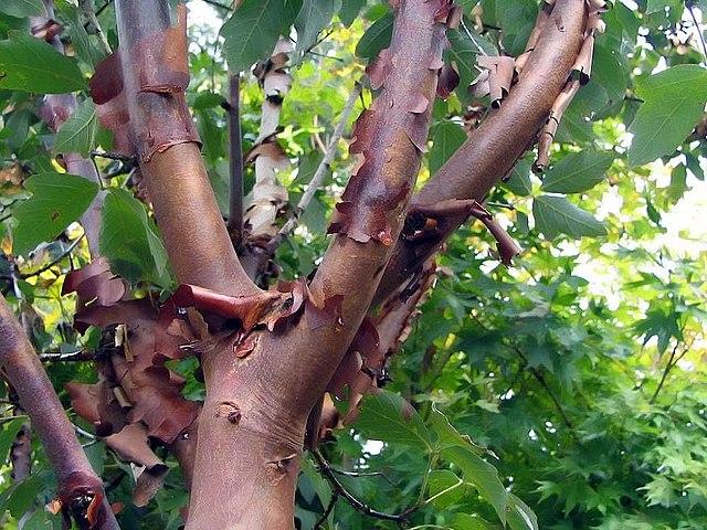 Acer griseum  semillas