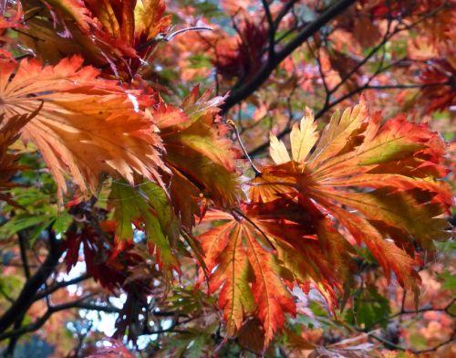 Acer japonicum aconitifolium  semi
