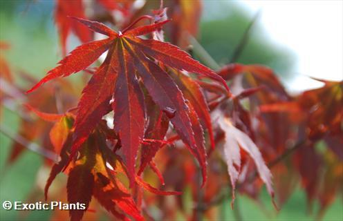 Acer palmatum Roter Fächerahorn Samen