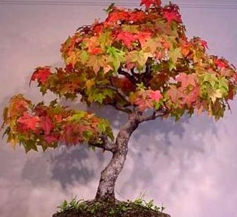 Acer rubrum Rotahorn - Bonsai Samen