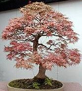 Acer saccharum Zucker-Ahorn - Bonsai Samen