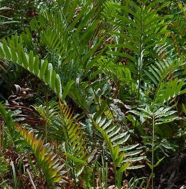 Acrostichum aureum Mangrovenfarn - Goldener Lederfarn Samen