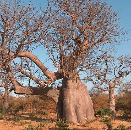 Adansonia digitata  Семена