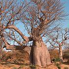 Adansonia digitata africano del baobab semillas