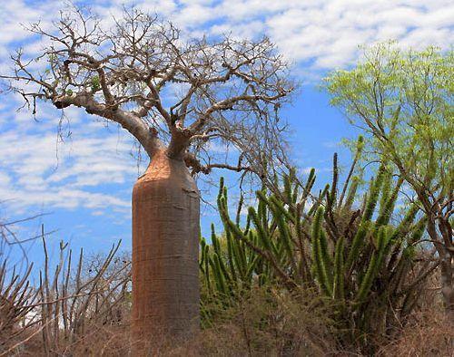 Adansonia fony Baobab Samen