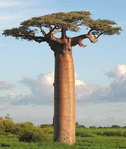 Adansonia grandidieri Baobab Samen