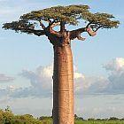 Adansonia grandidieri baobab di Grandidier semi