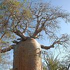 Adansonia rubrostipa afrikanischer Affenbrotbaum - Baobab Samen