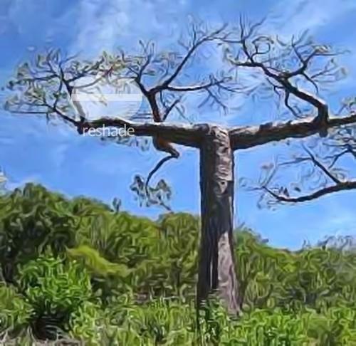 Adansonia suarezensis baobab de Suarez semillas