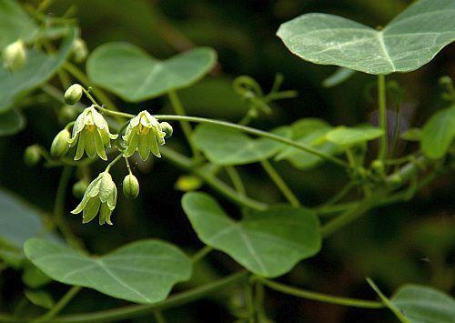 Adenia gummifera var gummifera pianta caudiciforme semi