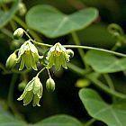 Adenia gummifera var gummifera  cемян
