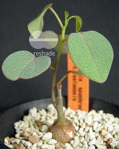 Adenia isaloensis caduciformes semillas