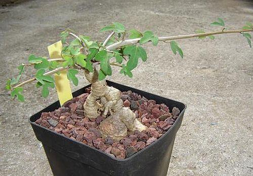Adenia subsessilifolia Caudexpflanze Samen