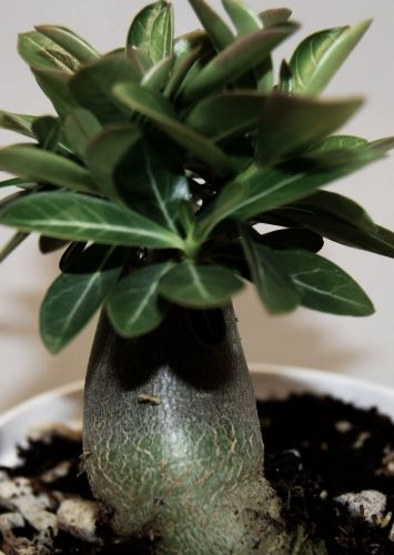 Adenium arabicum Black Knight W?stenrose?Black Knight Samen