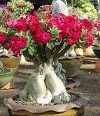 Adenium arabicum Bonsai WüstenroseBonsai Samen