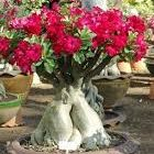 Adenium arabicum Bonsai Rose du D?sert Bonsai - Faux Baobab graines