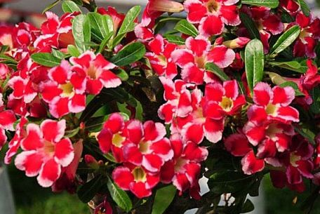 Adenium arabicum Red Hybrids Mix Wüstenrose Red Hybrids Mix Samen