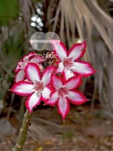 Adenium boehmianum  semillas