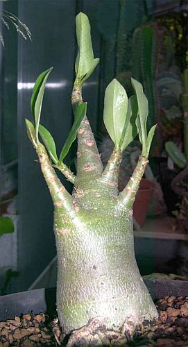 Adenium multiflorum lirio impala semillas