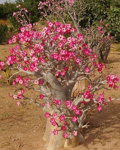 Adenium obesum Rosa del desierto - Adenio semillas