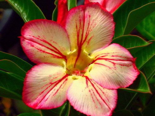 Adenium obesum 3171 Wüstenrose Samen