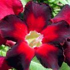 Adenium obesum Black Emperor  semillas