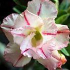 Adenium obesum Bonanza  semillas