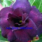 Adenium obesum Deep-purple Doxzon  cемян