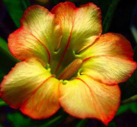 Adenium obesum Honey Wüstenrose Samen