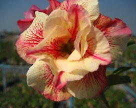 Adenium obesum Luang Lai Wüstenrose Samen
