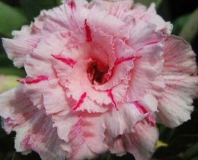Adenium obesum Mary Poppins Rose du désert - Faux baobab Mary Poppins graines