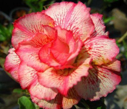 Adenium obesum Money Rose du désert - Faux baobab graines