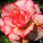 Adenium obesum Money Rose du d?sert - Faux baobab graines