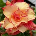 Adenium obesum Morning Star Rose du d?sert - Faux baobab Morning Star graines