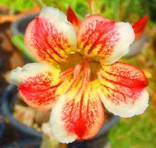 Adenium obesum Pawpun Wüstenrose Samen