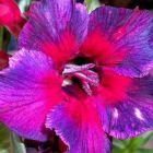 Adenium obesum Thailand W?stenrose Samen