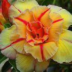 Adenium obesum Tongake Rose du d?sert - Faux baobab graines