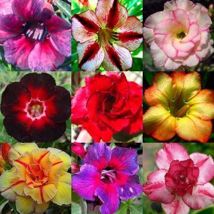 Adenium obesum mixed colours Wüstenrose gemischte Farben Samen