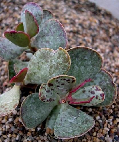 Adromischus inamoenus Crassulaceae Samen