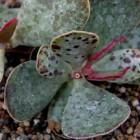 Adromischus inamoenus  cемян